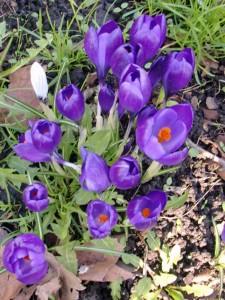 Purple-crocuses-2011