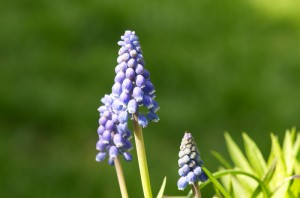Bluebells-spring