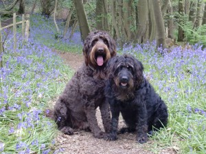 Buttons-and-Bertie-in-the-Bluebells
